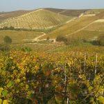 Vineyards Of Langhe