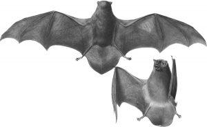Schreibers' Bat