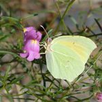 Cleopatra's butterfly